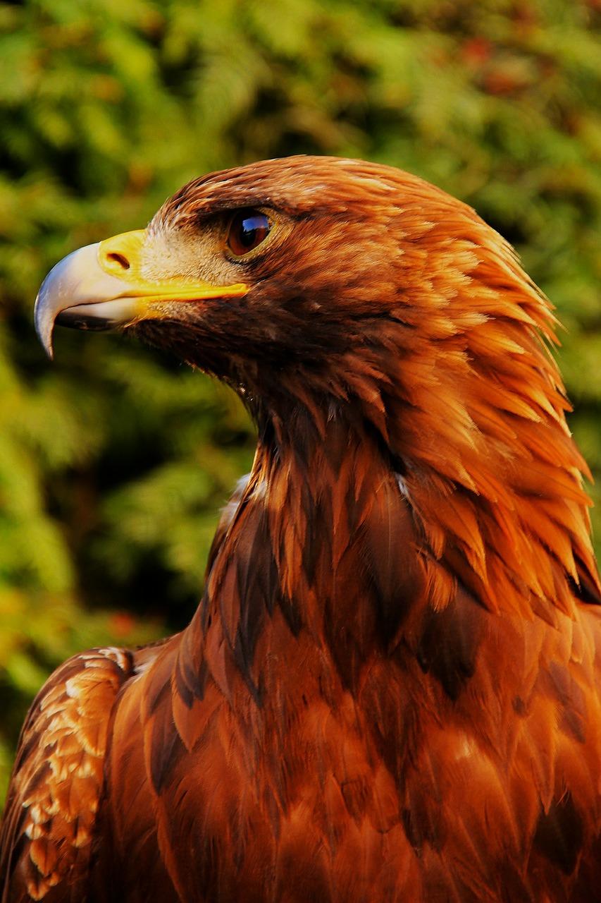 eagle-485957_1280