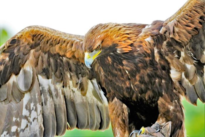 golden-eagle-1679166_1920